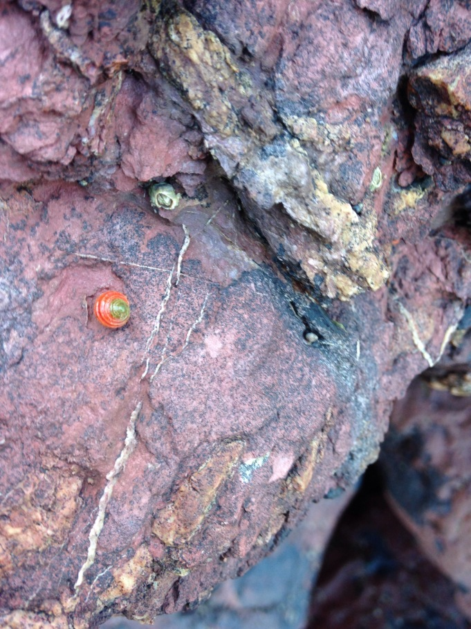 Tiny bright orange snail on red rock at Marloes Beach